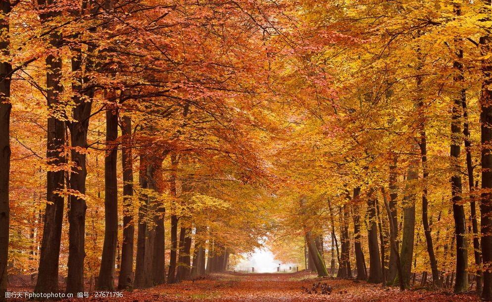 秋天楓樹林